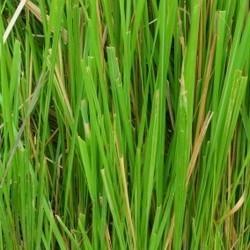 huile essentielle de vetiver pour shampoing bio