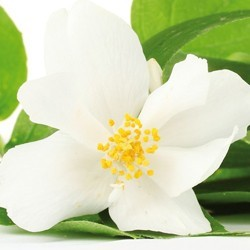 Orange Blossom Neroli essential oils