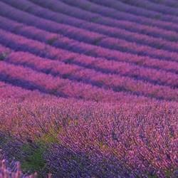 lavender essential oil - lavandula angustifolia