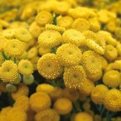 Boerenwormkruid: ingrediënt van Nacre etherische olie voor blond haar