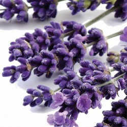 Lavender essential oils for plantapoux
