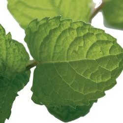 Groen munt: ingrediënt van de Men Tonic shampoo voor mannen
