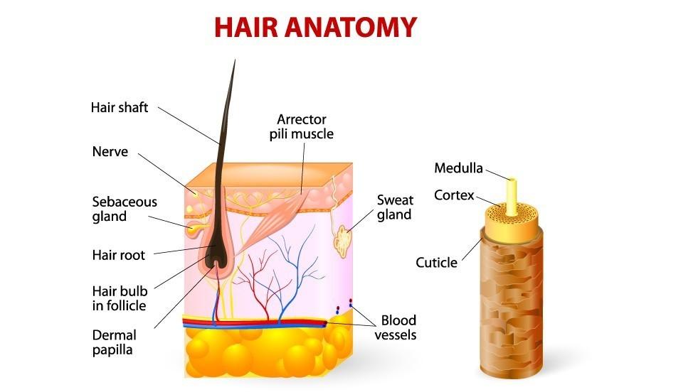 Broos, beschadigd of dof haar en gespleten haarpunten. Anatomische doorsnede opperhuid en cortex